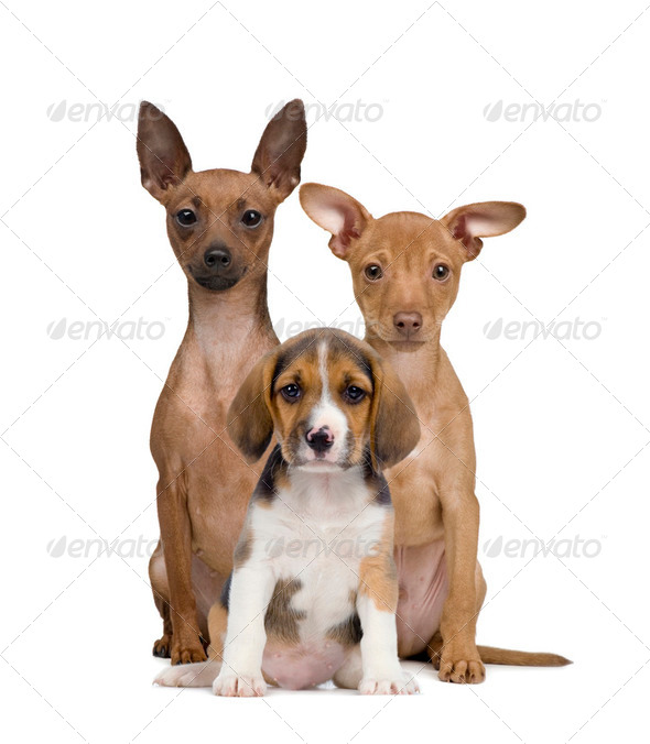 Portrait of Miniature Pinschers and Beagle puppy sitting in front of white background, studio shot - Stock Photo - Images