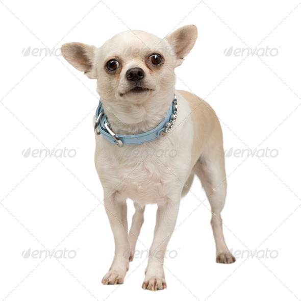chihuahua (3 years) - Stock Photo - Images