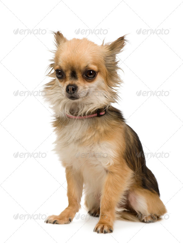 long haired chihuahua (2 years) - Stock Photo - Images