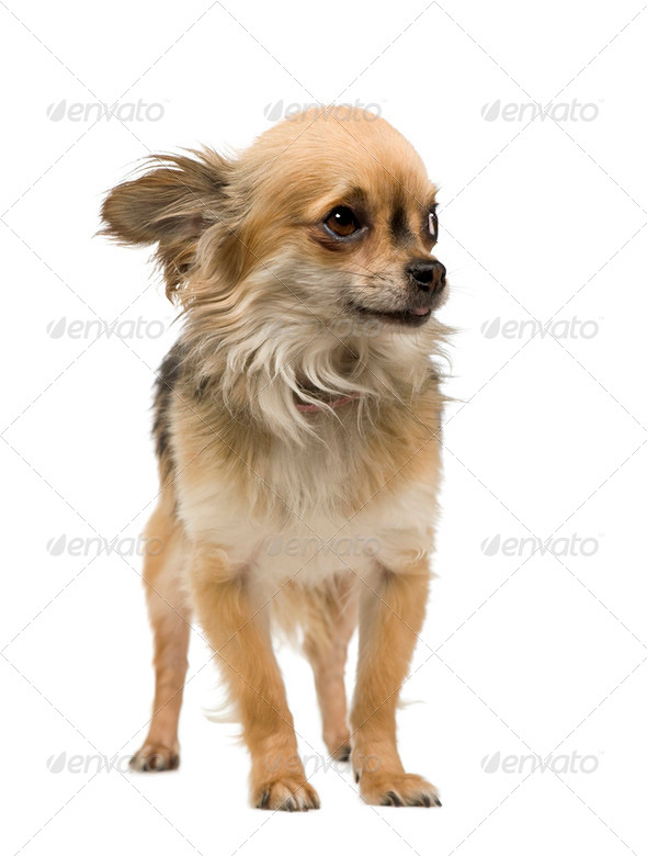 chihuahua (2 years) - Stock Photo - Images