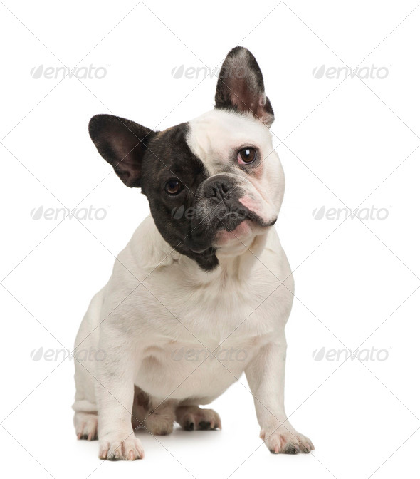 French Bulldog (18 months) - Stock Photo - Images