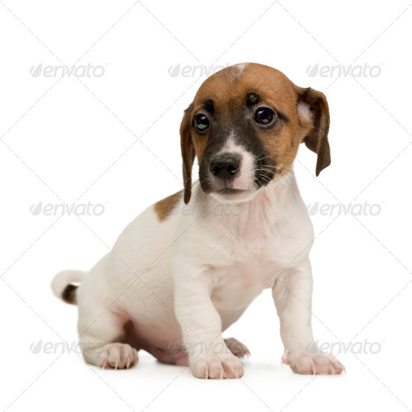 Jack russell () - Stock Photo - Images