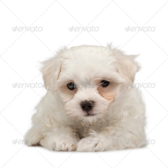 maltese dog () - Stock Photo - Images