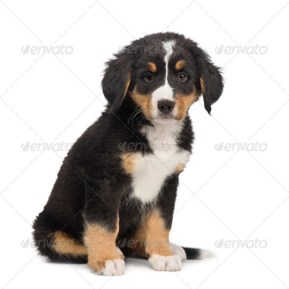 Bernese mountain dog (7 weeks) - Stock Photo - Images