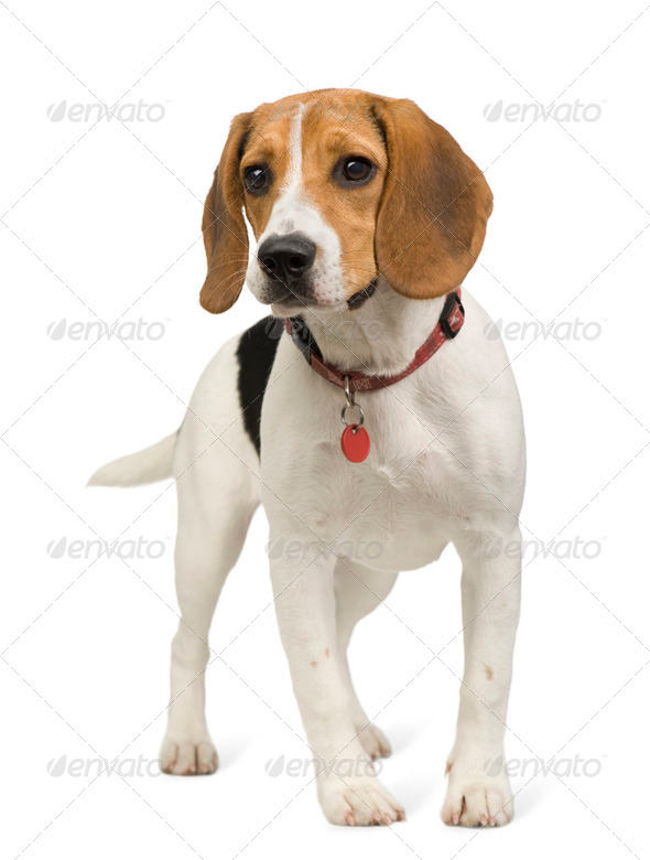 Beagle (8 months) - Stock Photo - Images