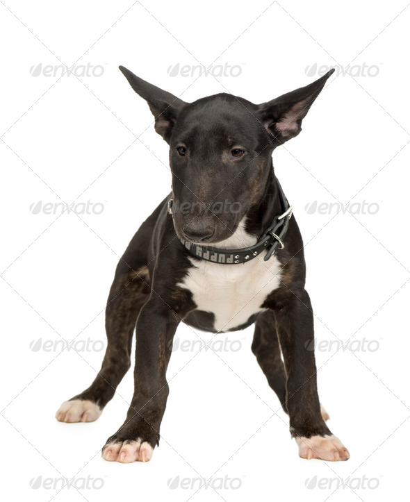 Bull Terrier (5 months) - Stock Photo - Images