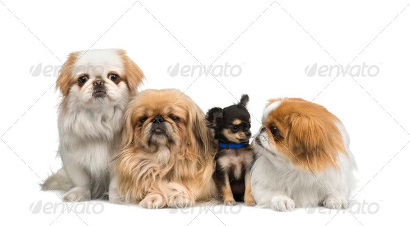 three Pekingeses and one chihuahua - Stock Photo - Images