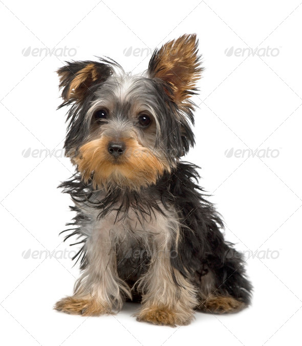 Yorkshire Terrier puppy (3 months) - Stock Photo - Images