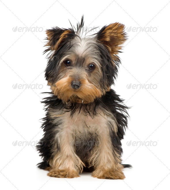 Yorkshire Terrier (3 months) - Stock Photo - Images