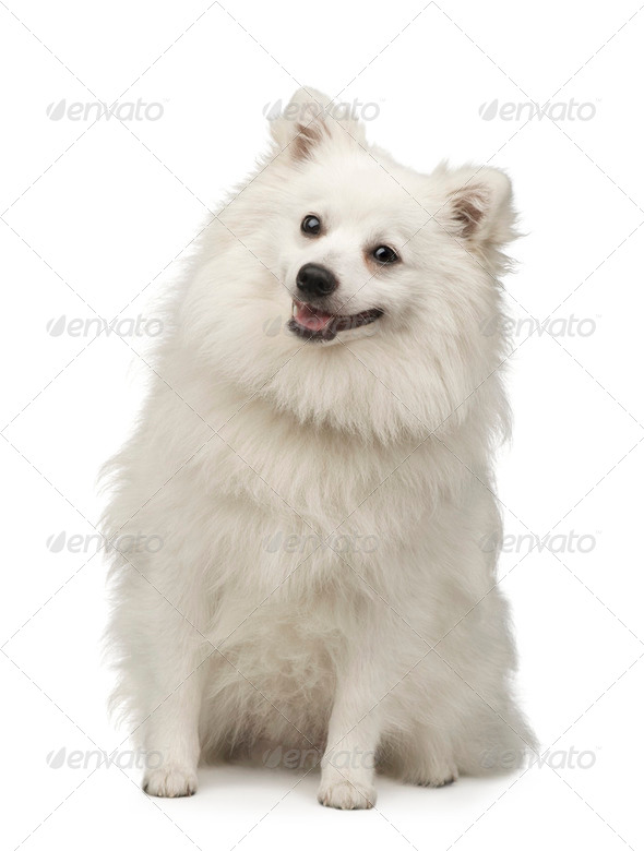 Keeshond (10 months) - Stock Photo - Images