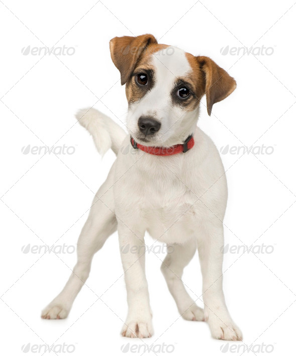 Jack russell (5 months) - Stock Photo - Images