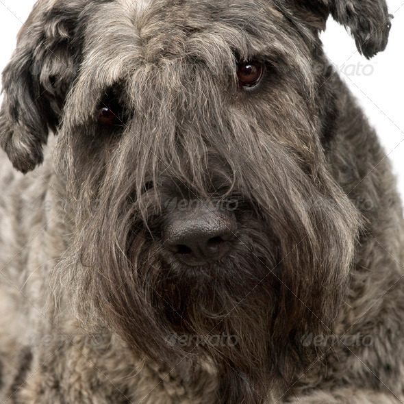 Bouvier des Flandres () - Stock Photo - Images