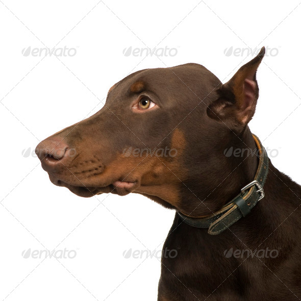 Doberman Pinscher (4 months) - Stock Photo - Images