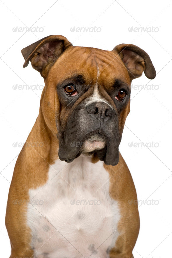 Boxer () - Stock Photo - Images