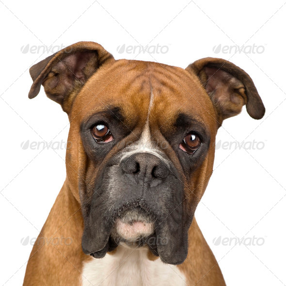 Boxer (2 years) - Stock Photo - Images