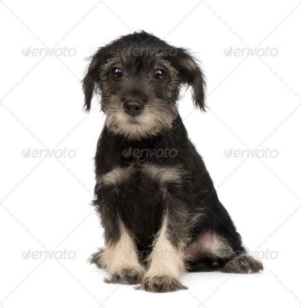 Standard Schnauzer puppy (10 weeks) - Stock Photo - Images