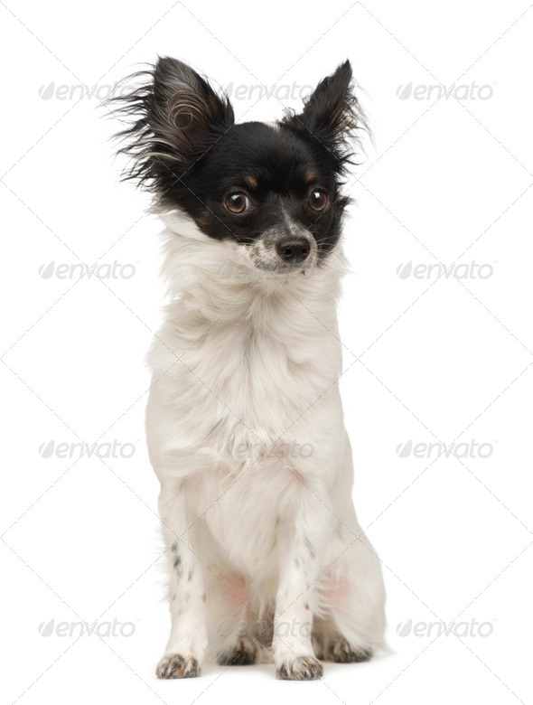 long haired chihuahua (9 months) - Stock Photo - Images