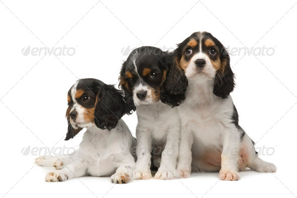 Cavalier King Charles Spaniel (3 months) - Stock Photo - Images