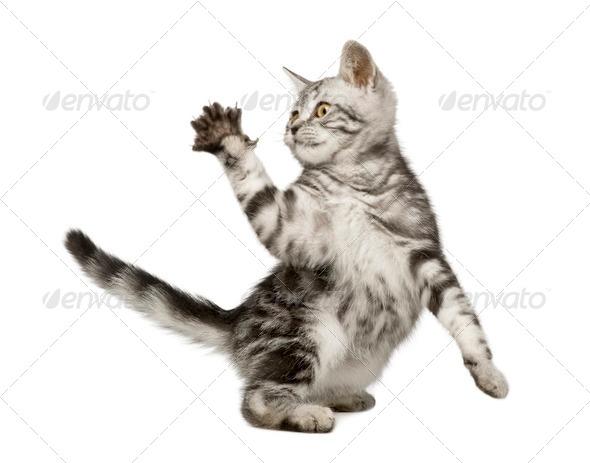Siberian cat (12 weeks) - Stock Photo - Images