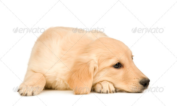 Golden Retriever (3 months) - Stock Photo - Images