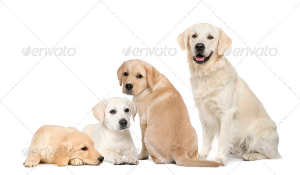 Portrait of Labradors and Golden Retriever sitting in front of white background - Stock Photo - Images