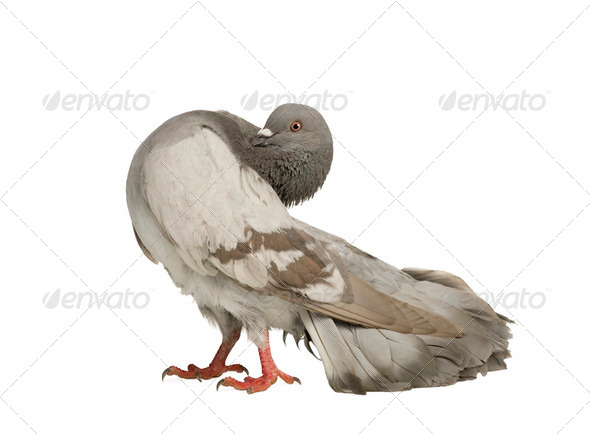 Rock Pigeon - Columba livia - Stock Photo - Images