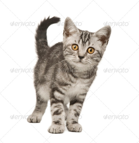 Siberian cat (12 weeks) - Stock Photo - Images