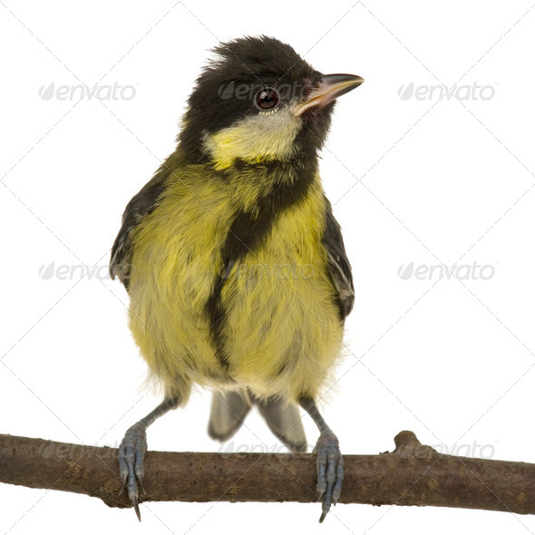 Great Tit - Parus major (6 weeks) - Stock Photo - Images