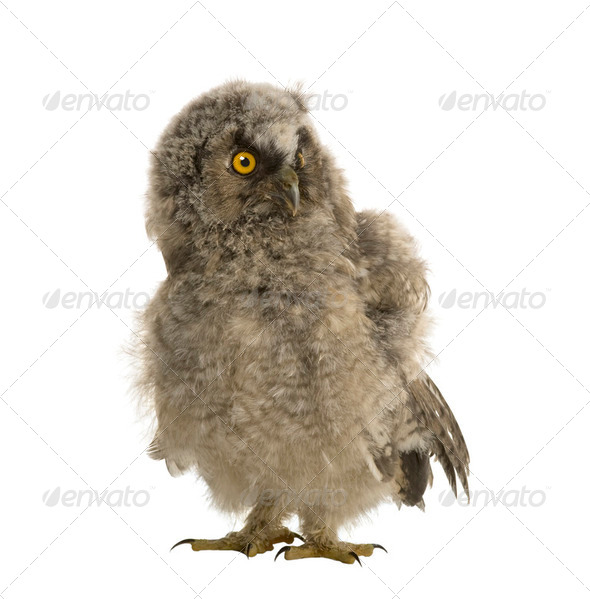Long-eared Owl - Asio otus (7 weeks) - Stock Photo - Images