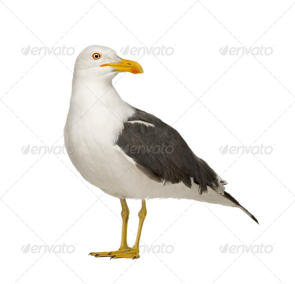 Herring Gull - Larus argentatus (3 years) - Stock Photo - Images