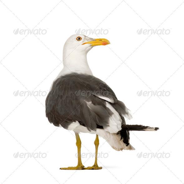 Herring Gull - Larus argentatus (3 years) - Stock Photo - Images