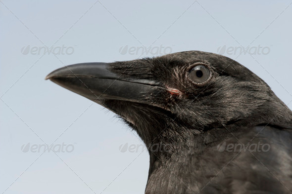 Young Carrion Crow - Corvus corone (4 months) - Stock Photo - Images
