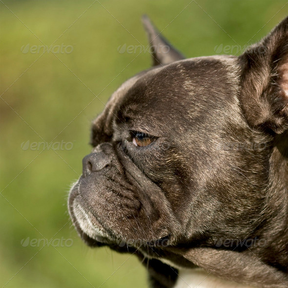 French Bulldog () - Stock Photo - Images