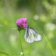 Beautiful butterfly on a pink clover - PhotoDune Item for Sale