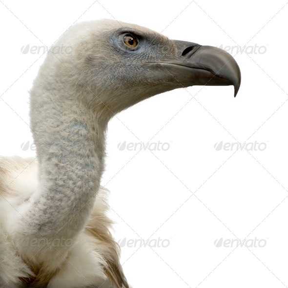 Vulture - Stock Photo - Images