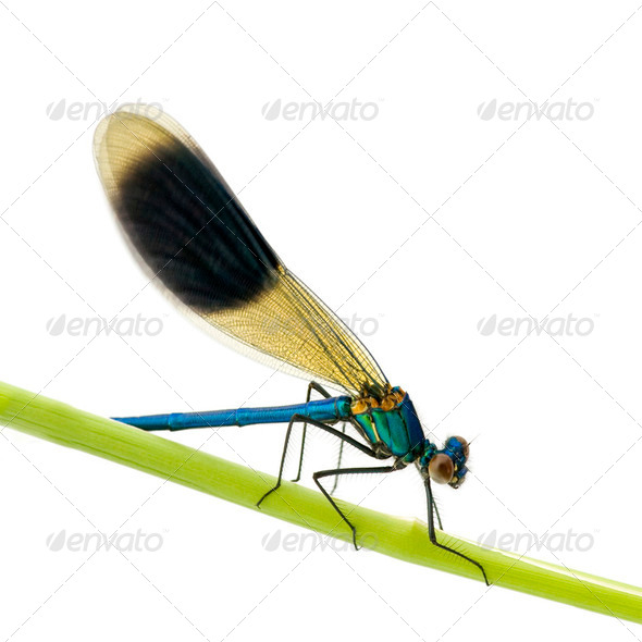 Banded Demoiselle - Calopteryx splendens - Stock Photo - Images