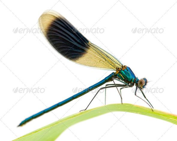 Banded Demoiselle - Calopteryx splendens - Stock Photo - Images