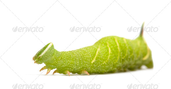 Lime Hawk-moth caterpillar - Mimas tiliae - Stock Photo - Images