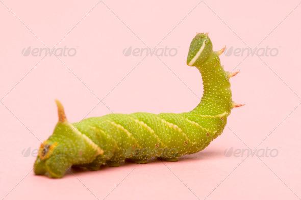 Lime Hawk-moth caterpillar - Mimas tiliae - Stock Photo - Images