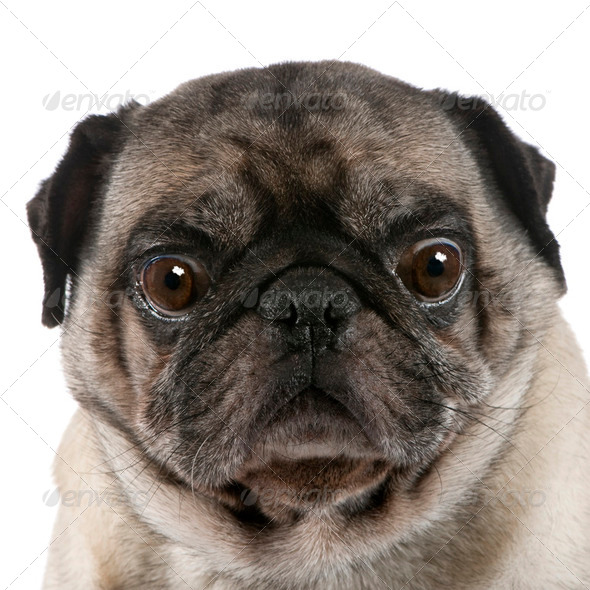 pug (6 years) - Stock Photo - Images