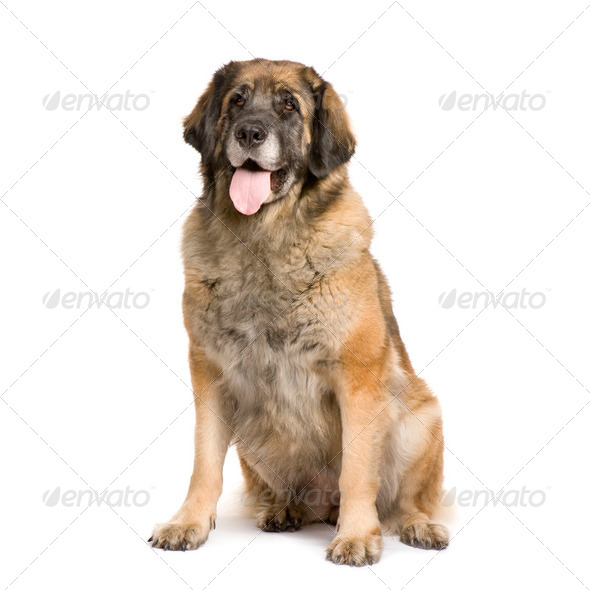 Leonberger (3 years) - Stock Photo - Images