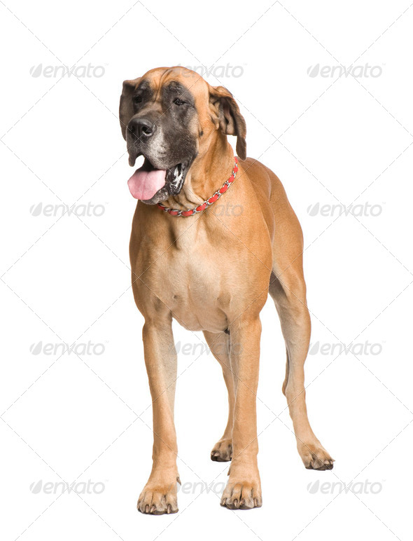 Great Dane (3 years) - Stock Photo - Images