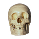 Human Skull Model - GraphicRiver Item for Sale