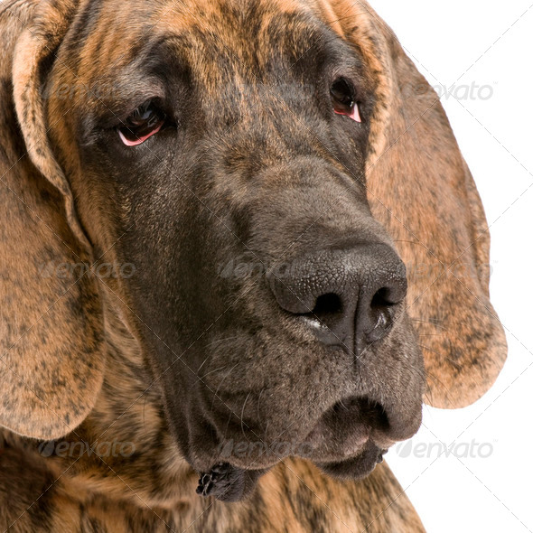 Great Dane (5 months) - Stock Photo - Images