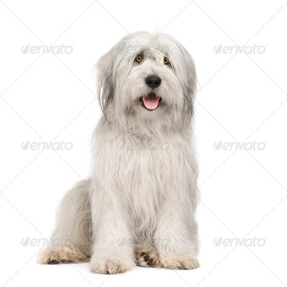Sheepdog (15 moths) - Stock Photo - Images