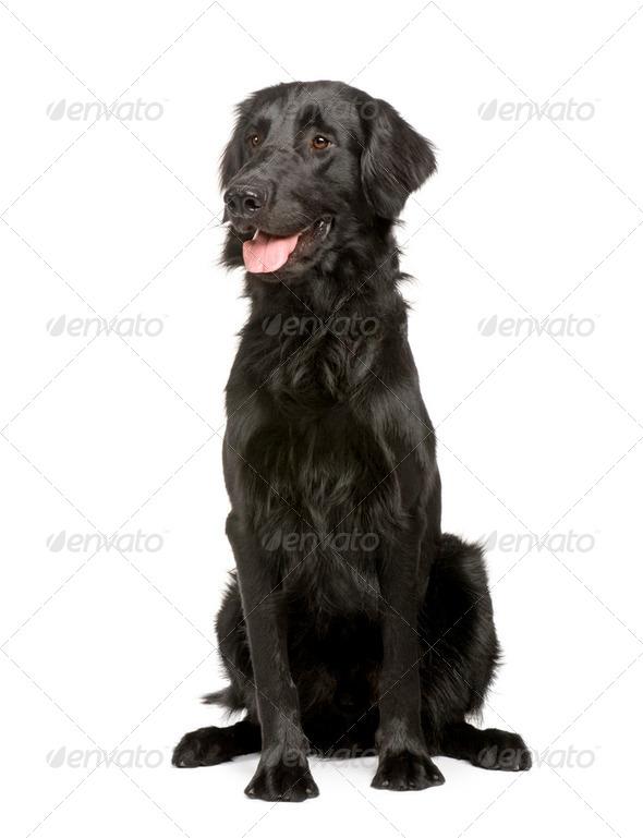 Black Labrador retriever (17 months) - Stock Photo - Images