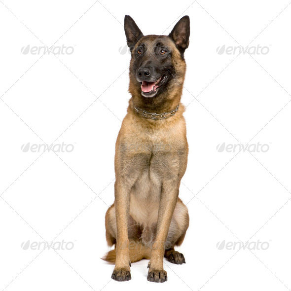 german shepherd (7 years) - Stock Photo - Images