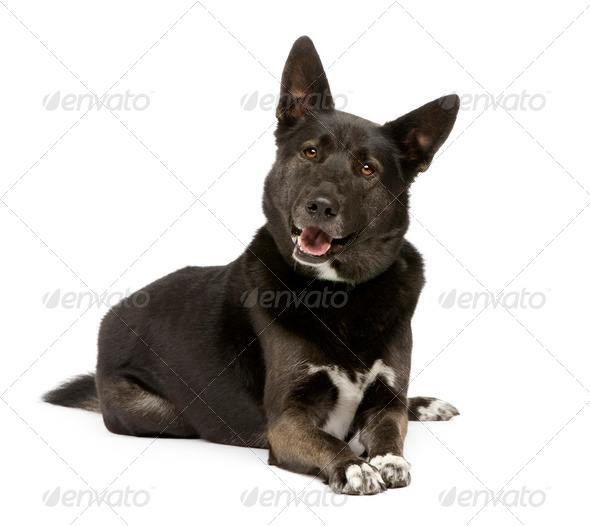 Mixed-Breed Dog between german sheperd and husky (3 years) - Stock Photo - Images