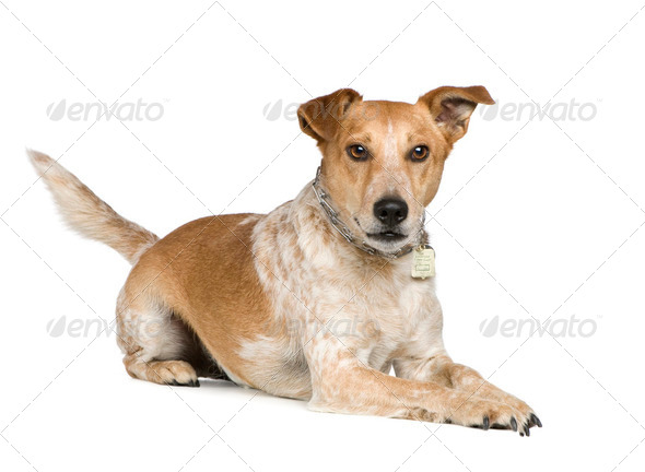 Mixed-Breed Dog between fox terrier and jack russel - Stock Photo - Images
