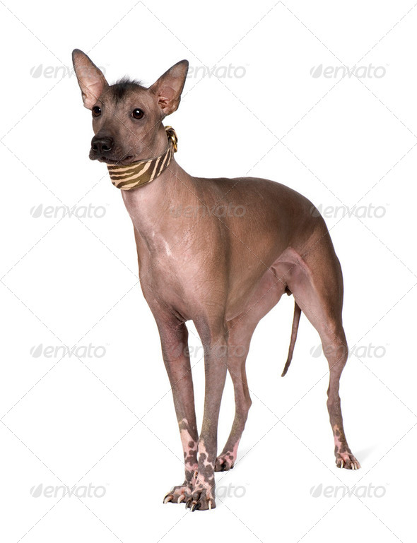 Peruvian Hairless Dog (1 years) - Stock Photo - Images